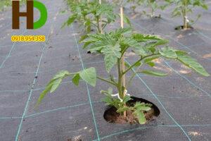 Bạt phủ chống cỏ giảm 30% chi phí trồng trọt
