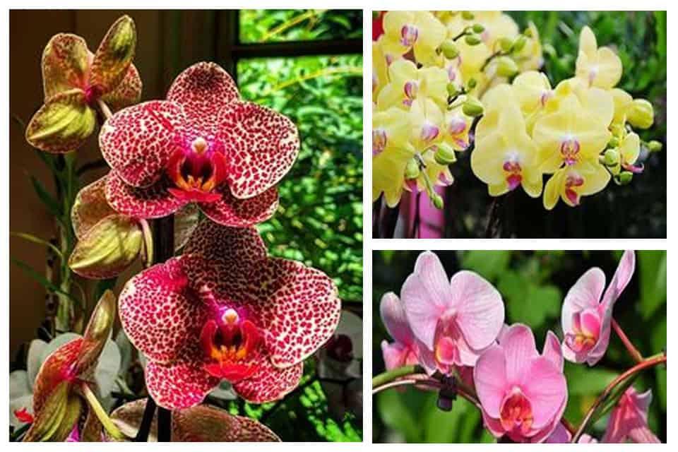 Hoa lan hồ điệp đẹp lung linh