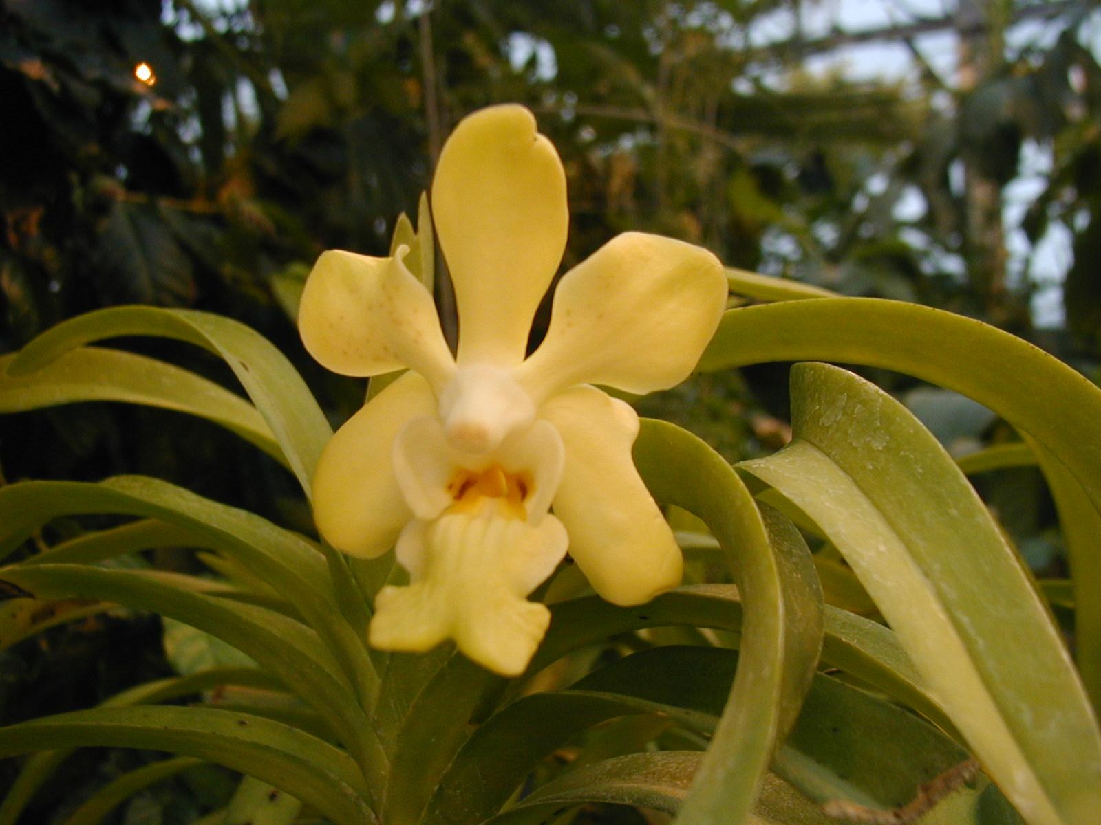 hoa phong lan Vanda